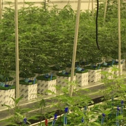Cannabis growing in room one