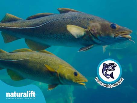 Morina Balığının Faydaları Nelerdir, Nerelerden Bulunabilir?