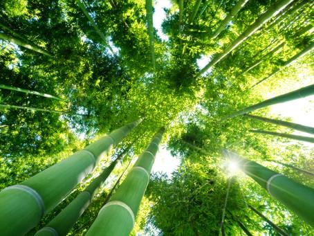 5 dolog, amit a bambuszról tudni kell!
