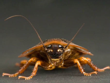 Get To Know Cockroaches