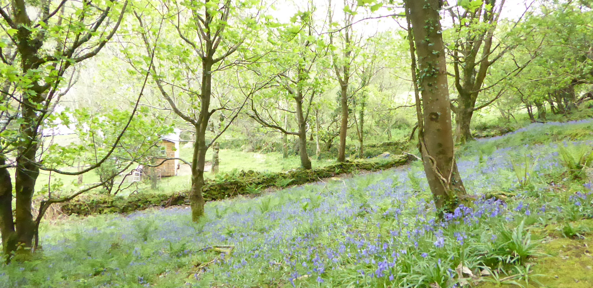 Bluebell woods at Lynton