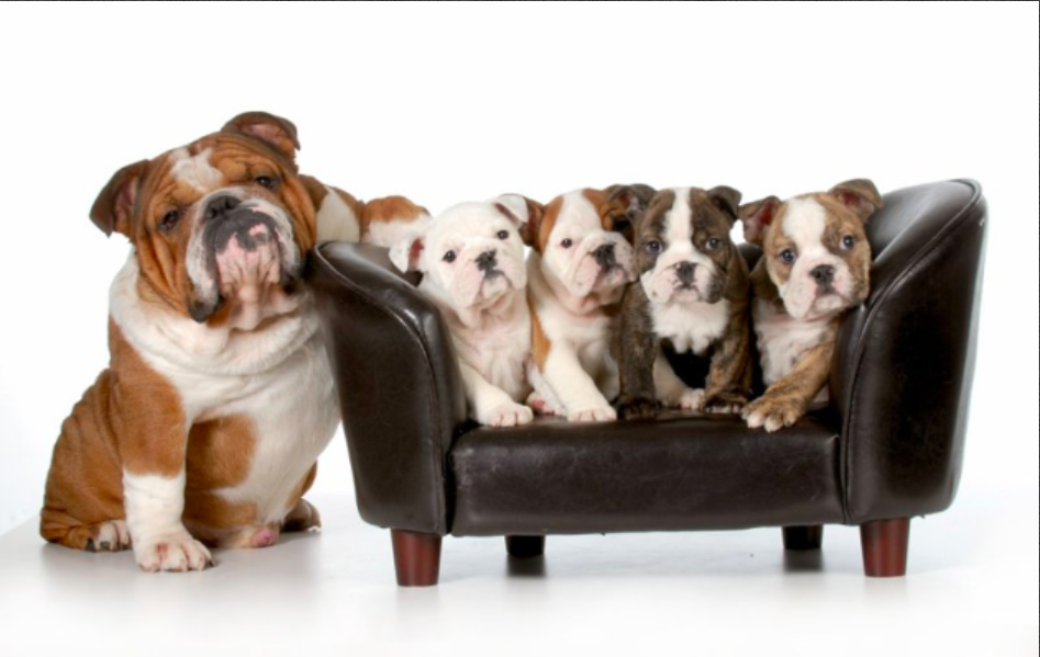 Pelee Bulldogs | Champion Bulldog Breeder Ontario Canada | Xander First Litter