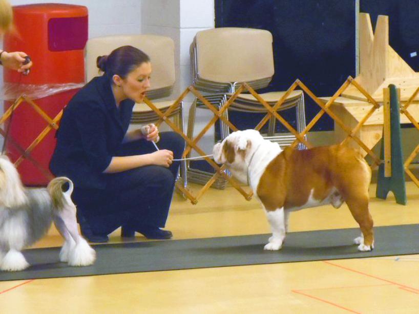 Pelee Bulldogs | Champion Bulldog Breeder Ontario Canada | Stack