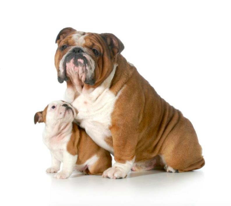 Pelee Bulldogs | Champion Bulldog Breeder Ontario Canada | Xander Sophia