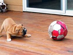 Pelee Bulldogs   Champion Bulldog Breeder Ontario Canada   Puppy Soccer