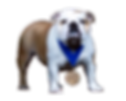 Pelee Bulldogs. Champion Bulldog Breeder Ontario Canada