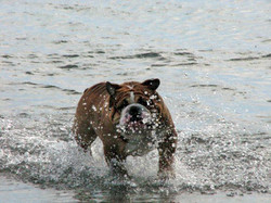Pelee Bulldogs | Champion Bulldog Breeder Ontario Canada | Pablo Water
