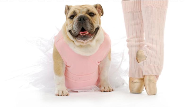 Pelee Bulldogs | Champion Bulldog Breeder Ontario Canada | Asia Ballet