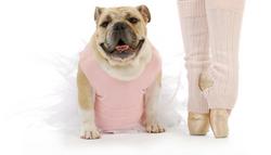 Pelee Bulldogs   Champion Bulldog Breeder Ontario Canada   Asia Ballet