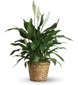 Large Spathiphyllum Plants