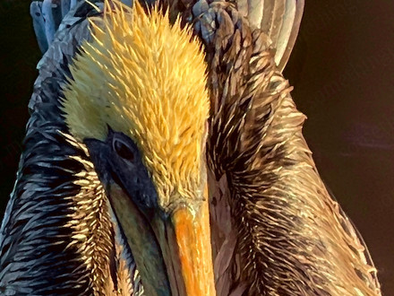 There's Something About Pelicans