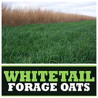 Whitetail Forage Oats.jpg