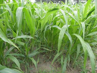 Sorghum Sudangrass 3.jpg