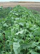 Forage Brassica.jfif