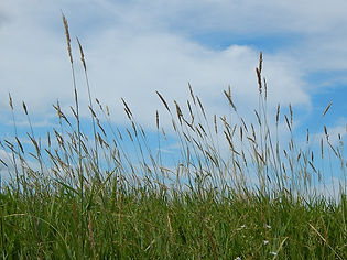 tall prairie grass.jpg