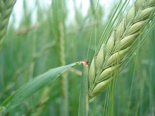 cereals_rye_wheat.jpg