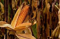corn-4985460_1920.jpg