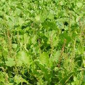 graza forage-brassica-new.jpg