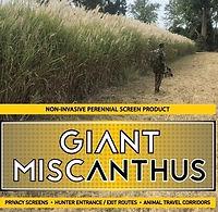 Giant Miscanthus.jpg