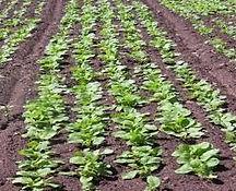 Forage Brassica 3.jfif