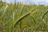 Cereal Rye.jpg