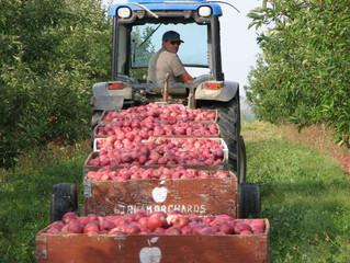 Apples in Season