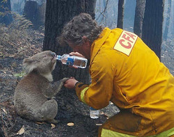 sam-the-koala-rescued-from-victorian-bus