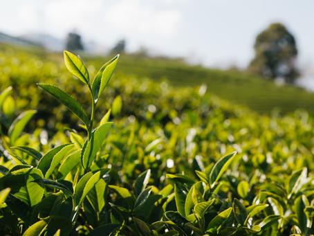 Les thés du monde