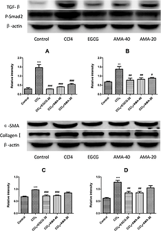 Effect-of-AMA-on-the-expression-of-TGF-b-A-P-Smad-B-a-SMA-C-and-Collagen-I-D.png