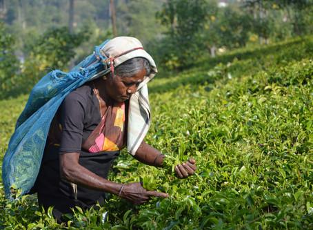 Les thés du monde - Japon et Sri Lanka