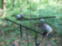 Palombière pour chasse à la palombe
