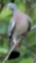 Séjour chasse à la palombe au filet en palombière dans les Landes