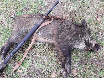 palombe.org sanglier tiré au mirador.jpg