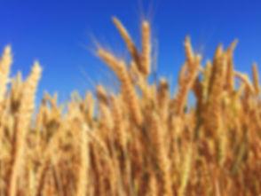 wheat-863392_960_720.jpg