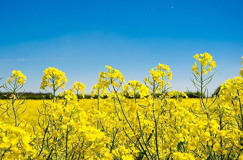 oilseed-rape-3381262_960_720.jpg