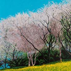 Cherry Blossoms and Nonohana