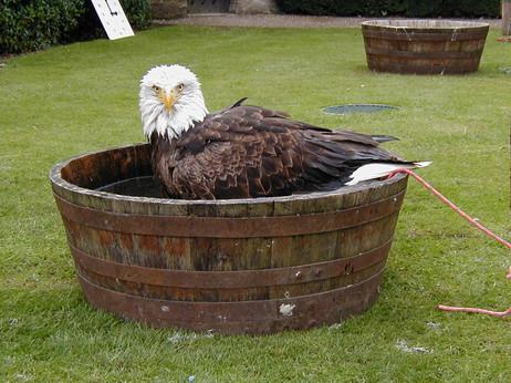 Cranky Bald Eagle