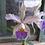 Thumbnail: HTP 752 - C. gaskeliana coerulea x C. schilleriana coerulea