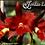 Thumbnail: HTP 639 - Slc. Ann Komine x Potinara Red Crab