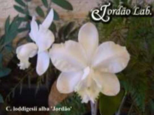 HTP 711 - C. loddigesii alba xxx X alba Jordão