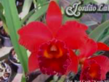 HTP 639 - Slc. Ann Komine x Potinara Red Crab