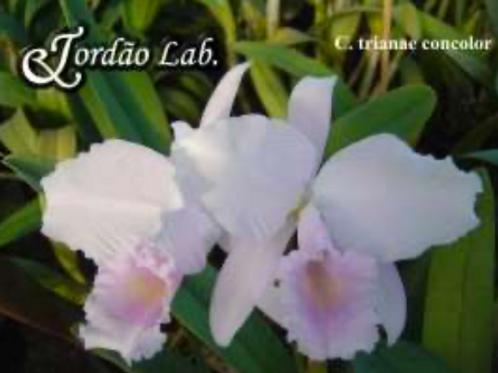 HTP 694 - C. trianae concolor x sibling