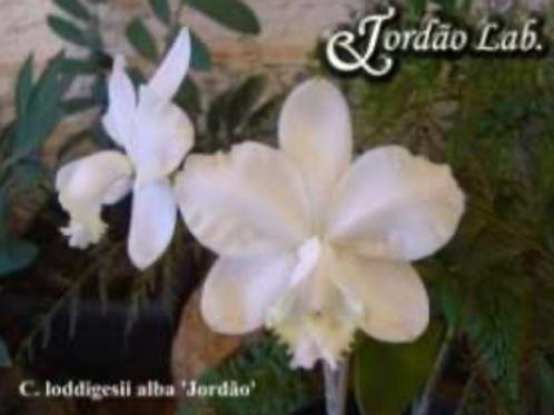 HTP 713 - C. loddigesii alba Jordão x self