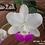 Thumbnail: HTP 655 - C. walkeriana s/a Tokyo x s/a Puanani 4N