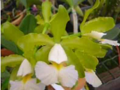 HTP - C. schilleriana albescens