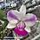Thumbnail: HTP 670 - C. walkeriana (Lea x Champion) x semi alba 'Naiad'
