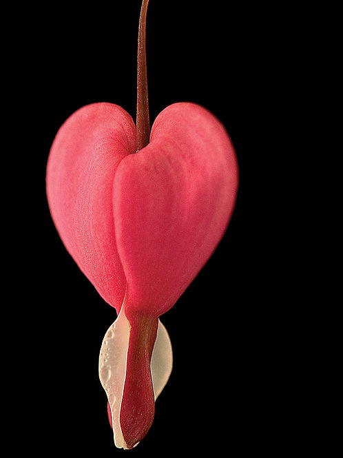 Dicentra Heart