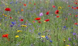 Wildflower Meadow: August '17