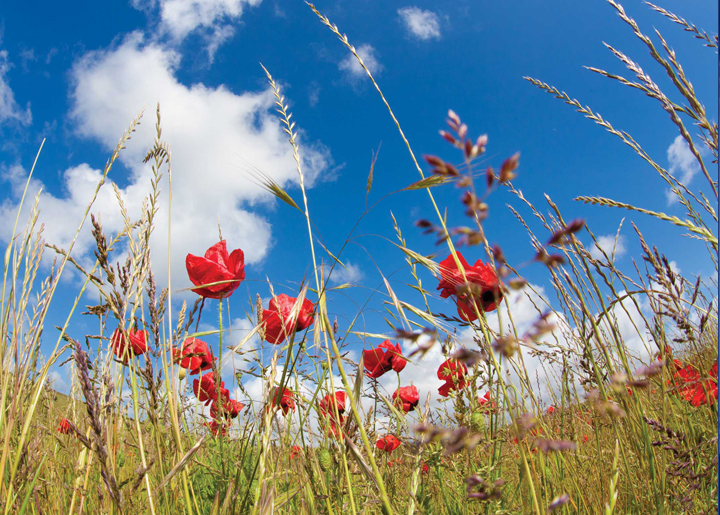 Poppy Field with Sky