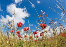Poppy Field with Sky